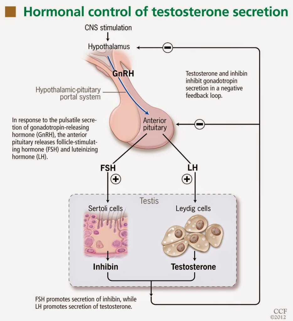 Hormonal-control-of-testosterone-secretion